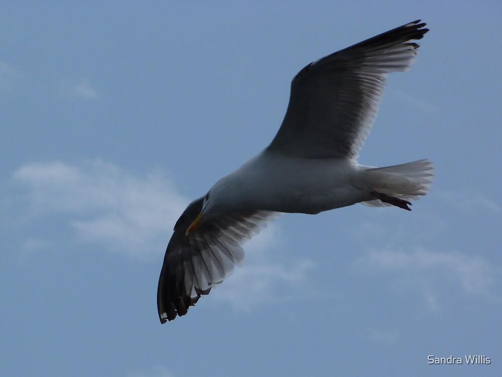Seagull in Flight by Sandra Willis