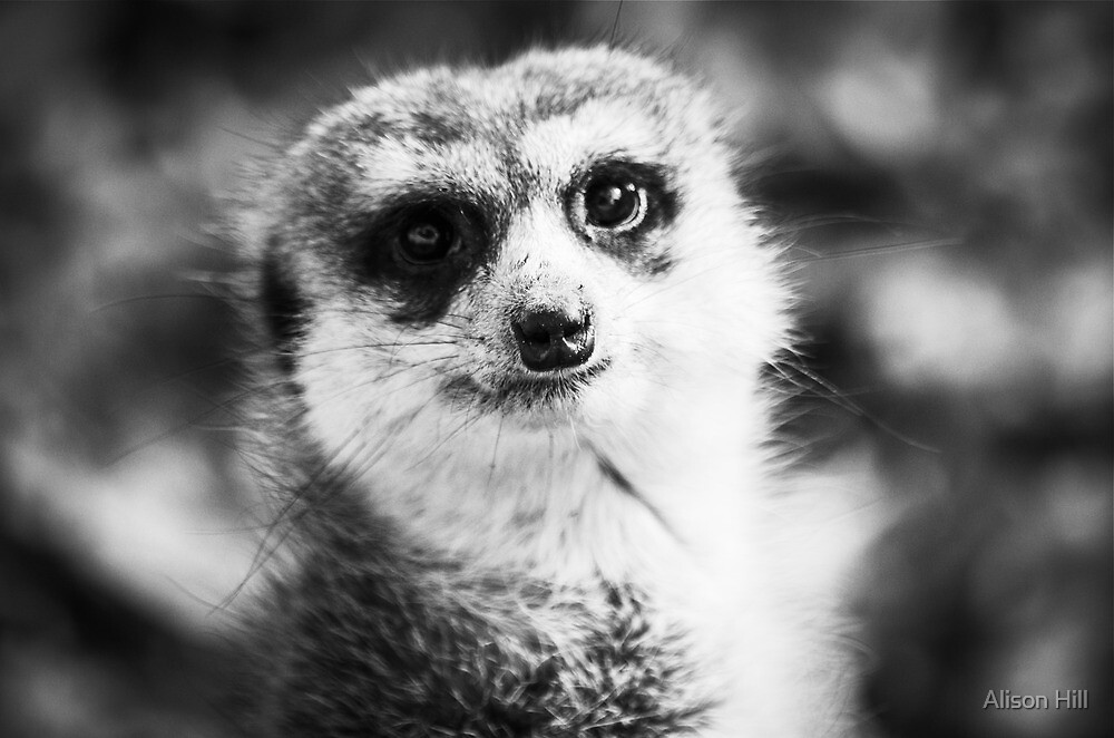 Meerkat Moments by Alison Hill