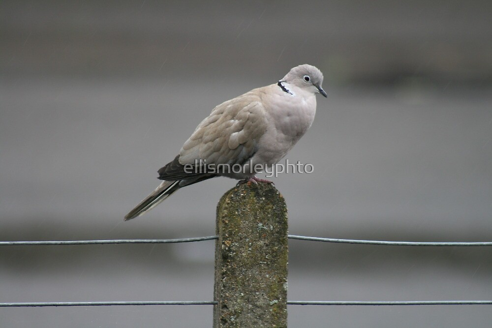 Collared Dove by ellismorleyphto