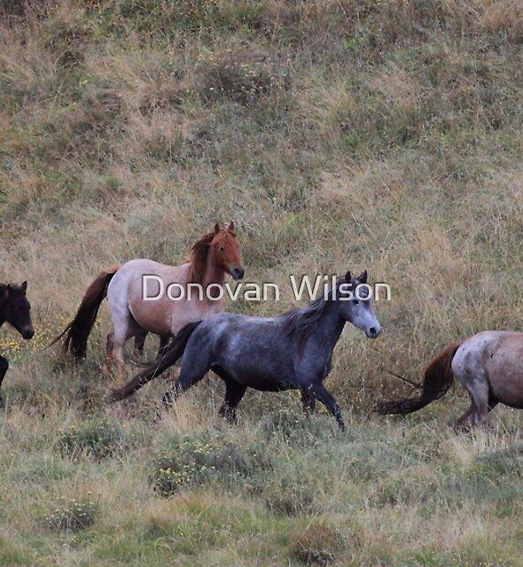 The Brumbies of Dead horse gap  by Donovan Wilson