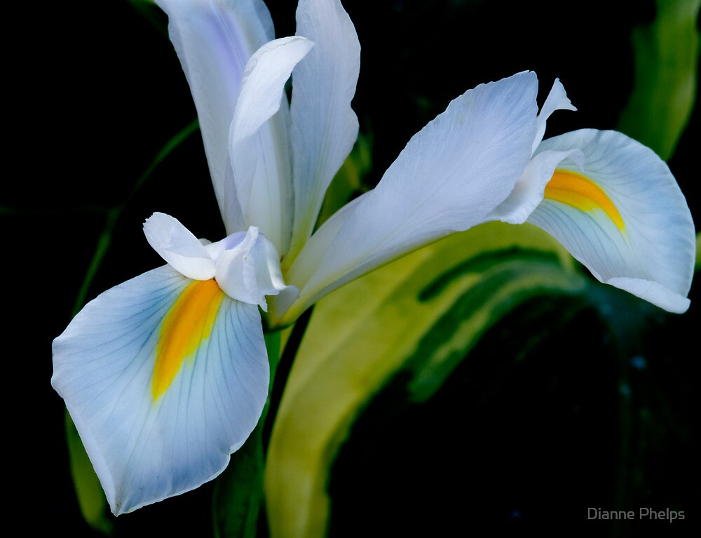 Dutch Iris by Dianne Phelps