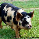 Piggy by Paul Howarth