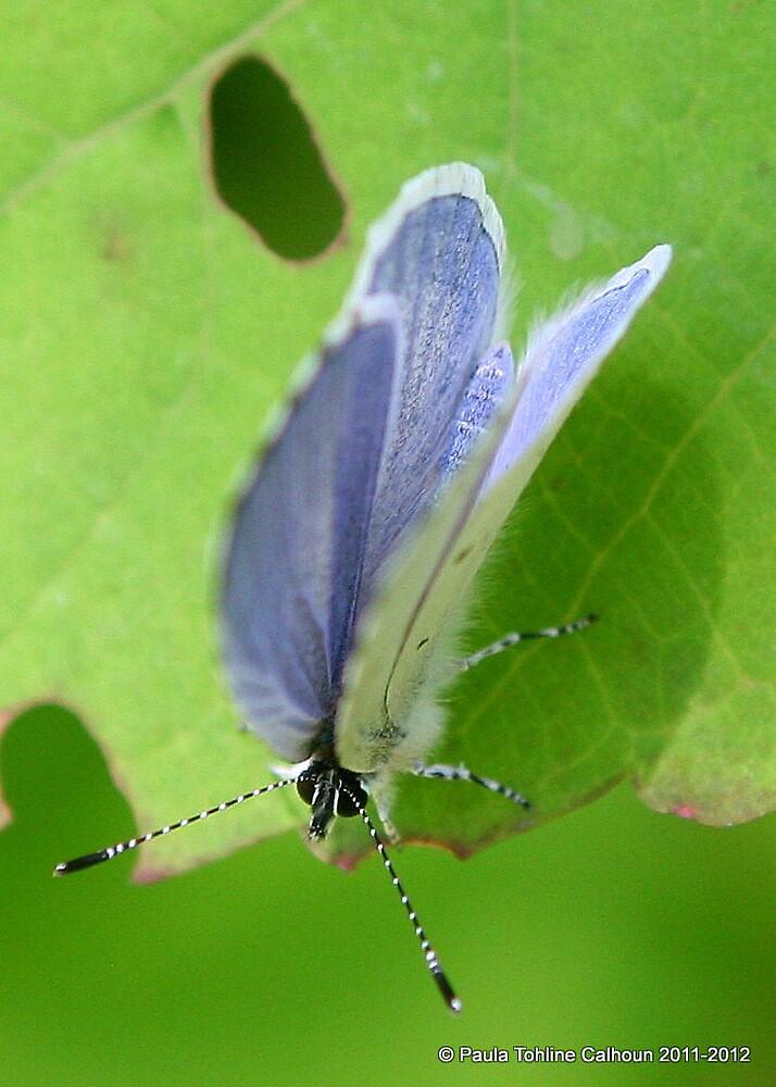 Spring Azure Butterfly - 2012 by Paula Tohline  Calhoun