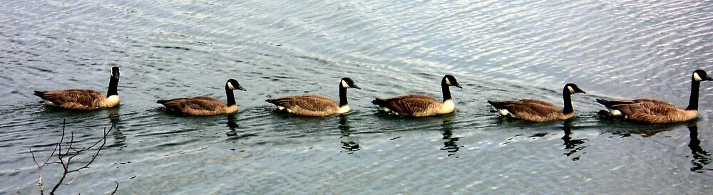 "Canada Geese- ""Hey! You up front! Are you sure we're going the right way? by Paula Tohline  Calhoun"