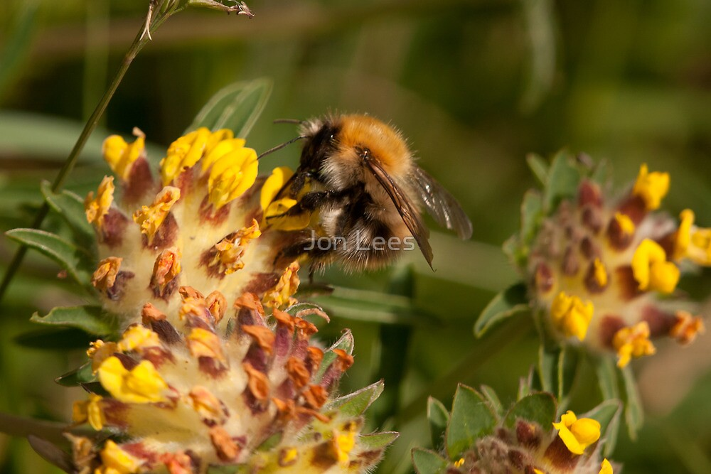 Common Carder Bee  by Jon Lees