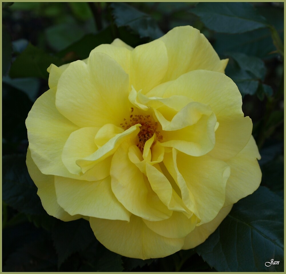 Yellow Rose by Janone