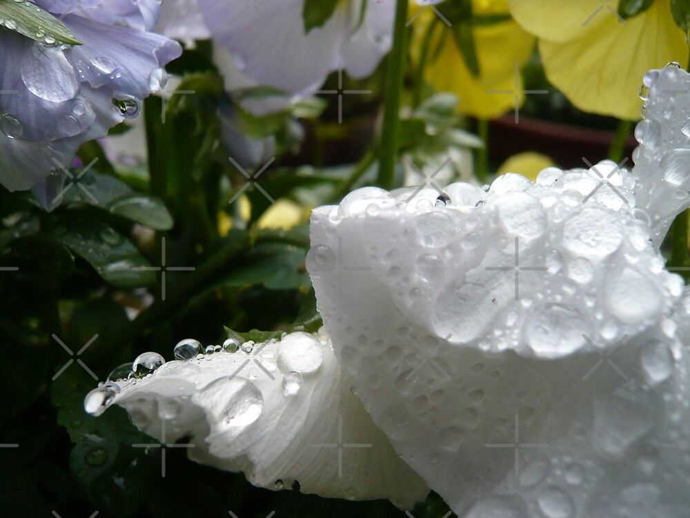 Water on a white flower by Hekla Hekla