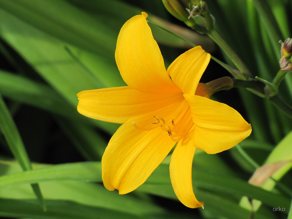 Daylily in Yellow by orko