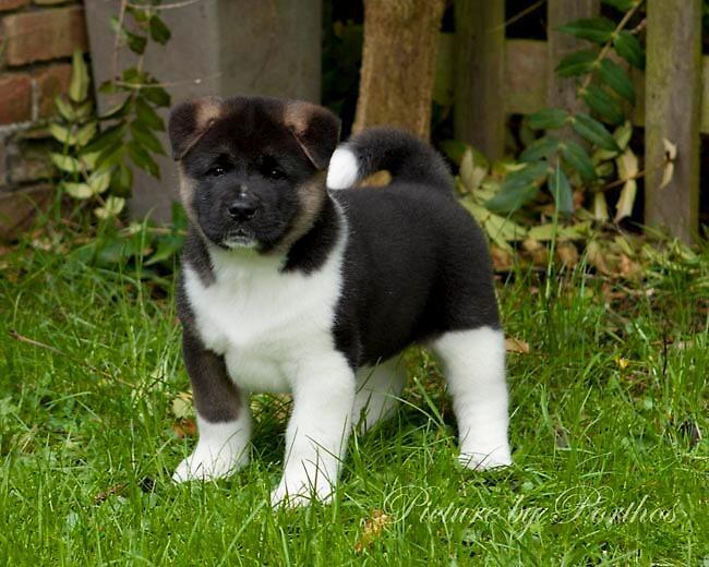 Akita Puppy by Porthos