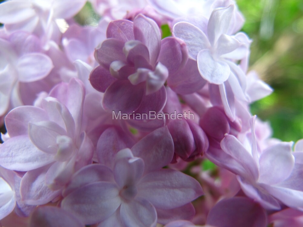 Lilac Bliss by MarianBendeth