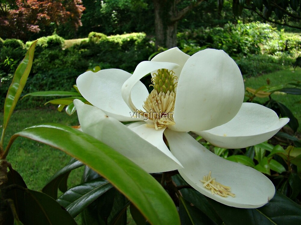 Beautiful Magnolia~ by virginian