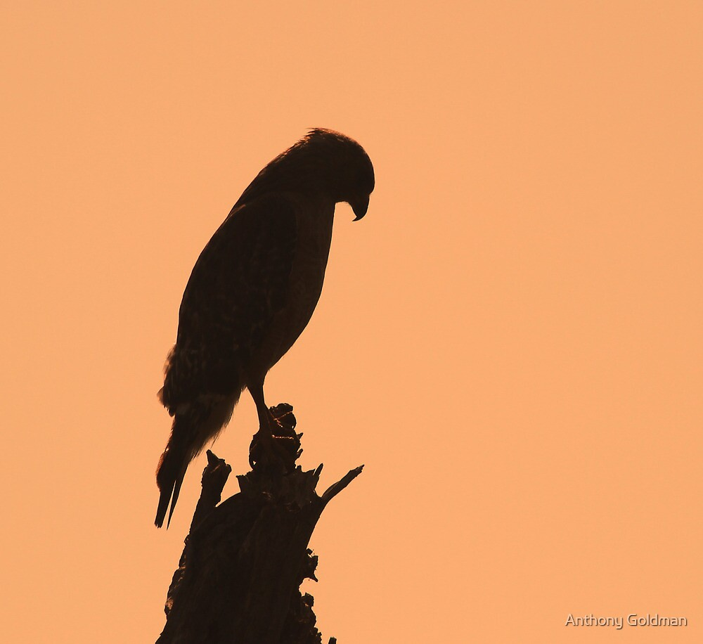 A hawk silhouette by Anthony Goldman