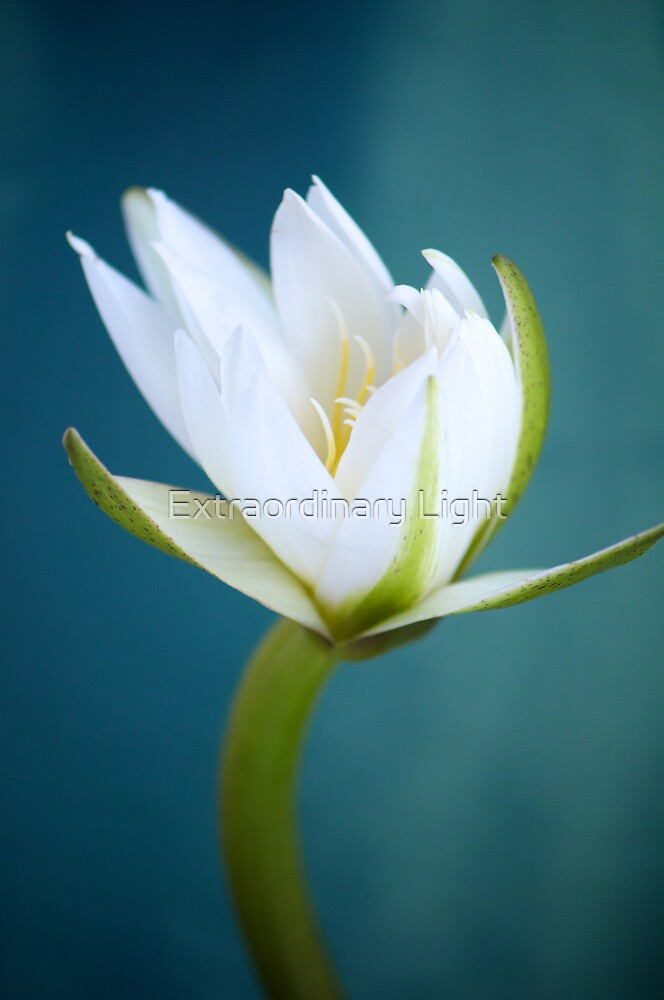 White Water-Lily by Extraordinary Light
