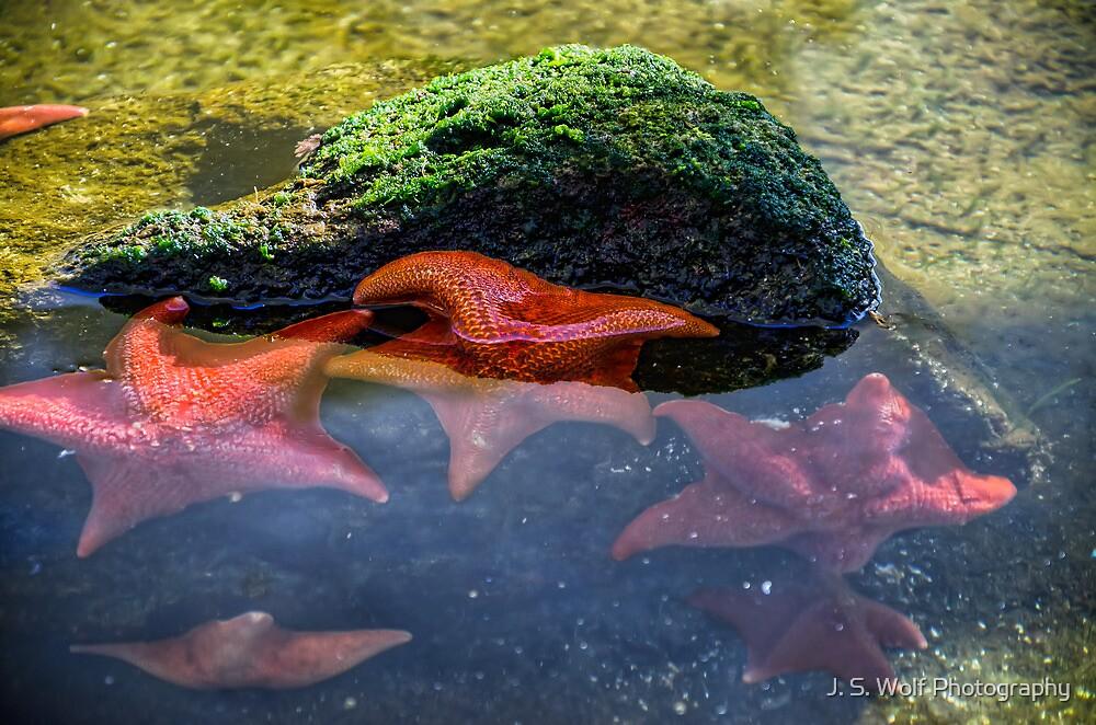 Starfish by jswolfphoto