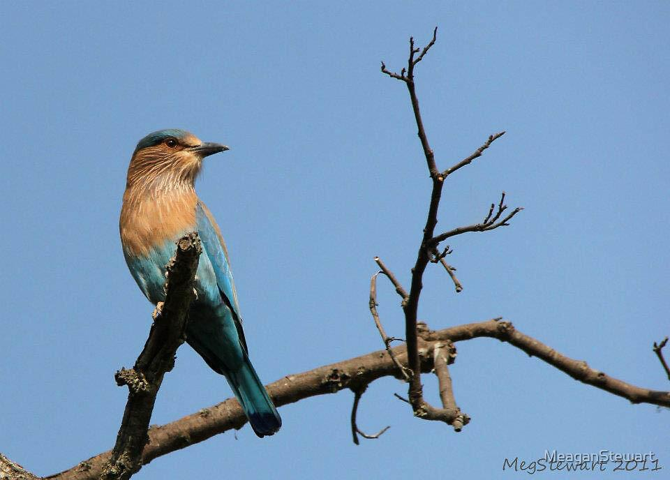 Common Indian Roller by MeaganStewart
