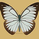 White Pine Butterfly by Walter Colvin