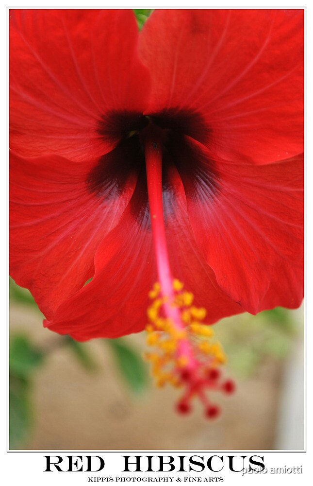 red hibiscus by paolo amiotti