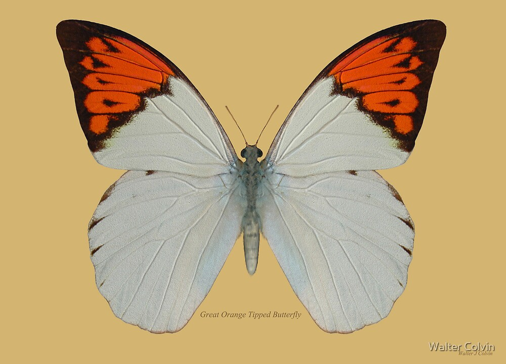 Great Orange Tipped Butterfly by Walter Colvin