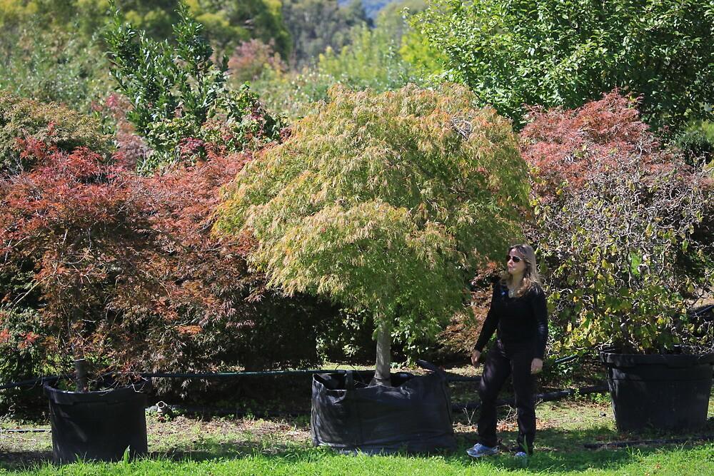 Acer Palmatum Dissectum Viridis. by Streamline trees streamline trees.