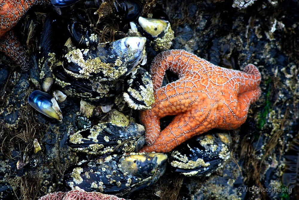 Starfish by ZWC Photography