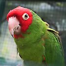 Red and Green Parrot. by MrDtct