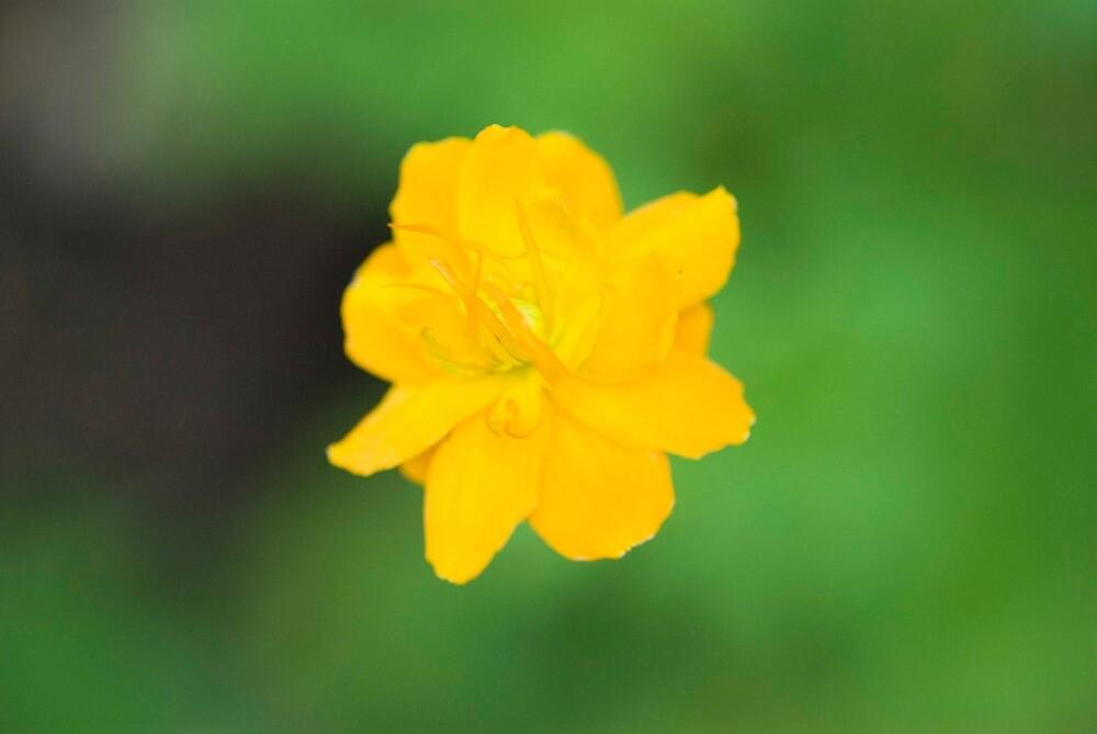 Flower, Torosay Castle Gardens, Isle of Mull, Inner Hebrides, Scotland by Iain MacLean