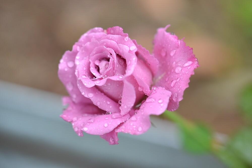 Rose Awakening by shellandshilo