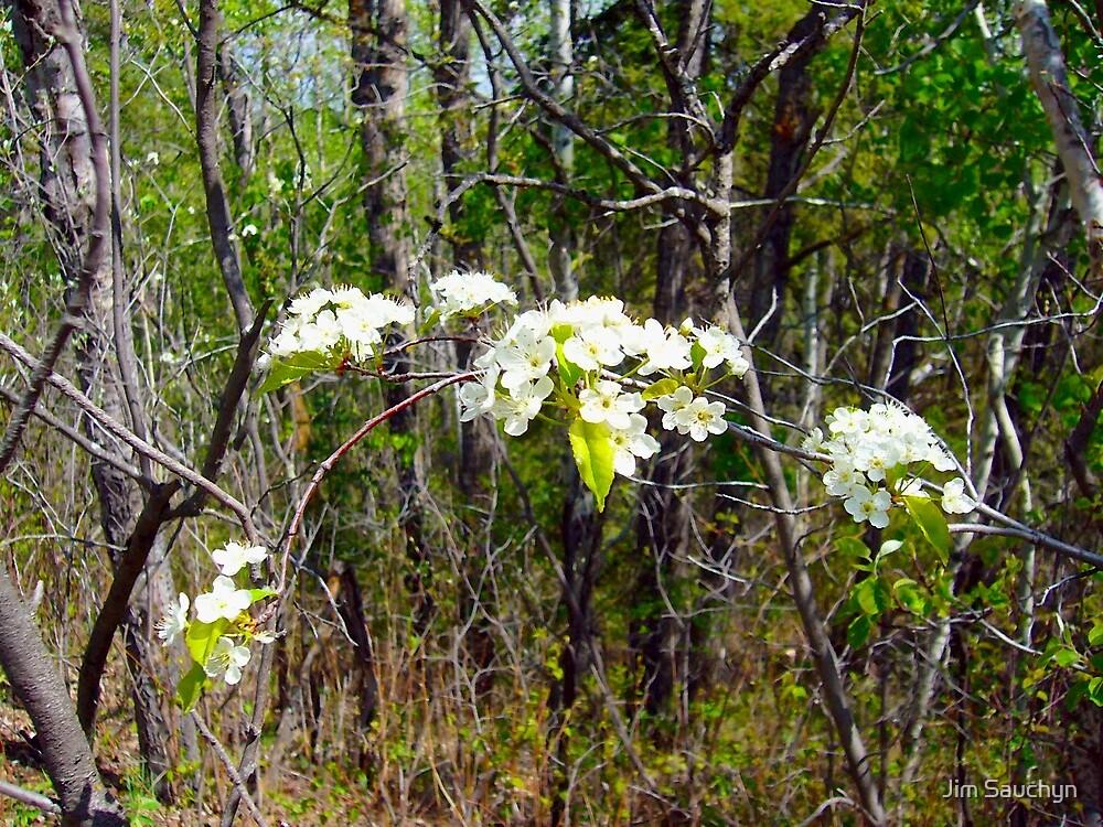 Saskatoon blossoms by Jim Sauchyn
