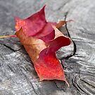 Autumn Colour - Red Leaf by Evelyn Flint