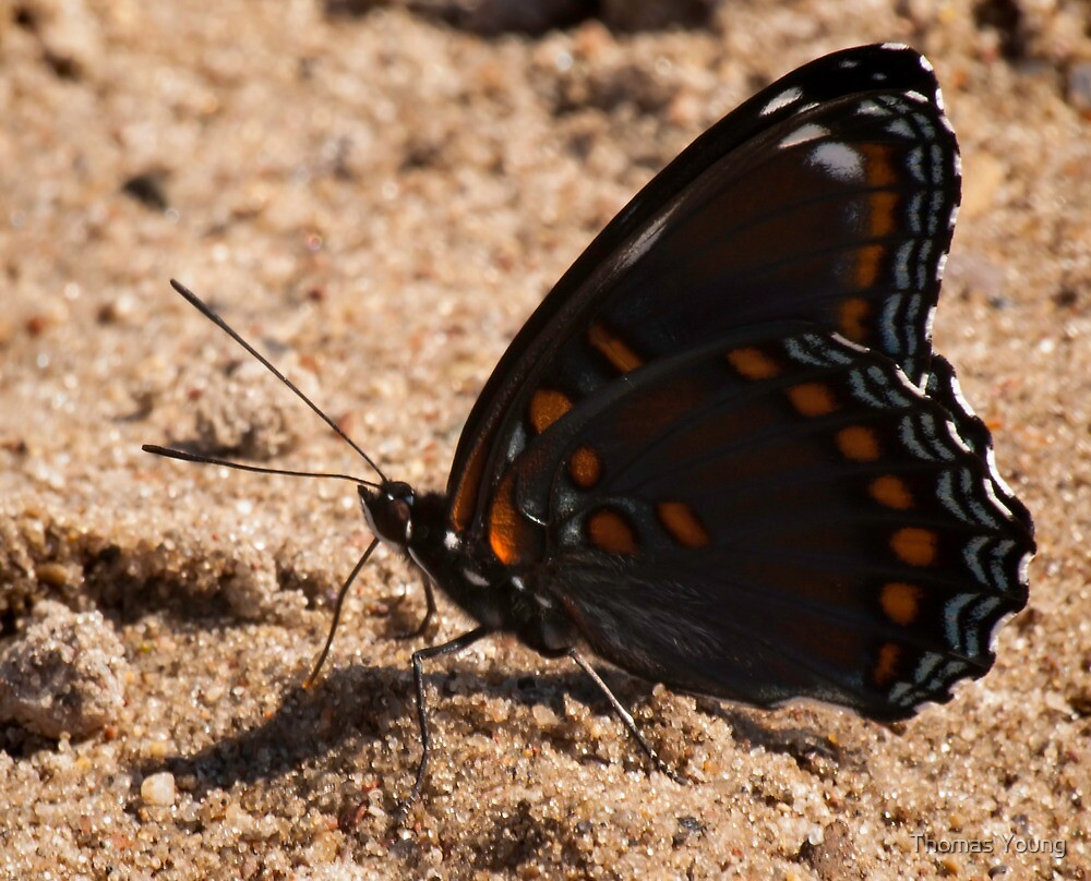 Red Spotted Purple by Thomas Young
