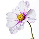 Cosmea bipinnatus by John Edwards