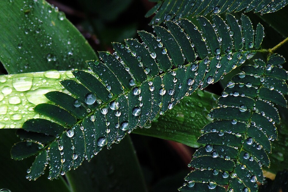 Mimosa after the rain by Roger Easley