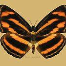 Bermese Lascar Butterfly by Walter Colvin