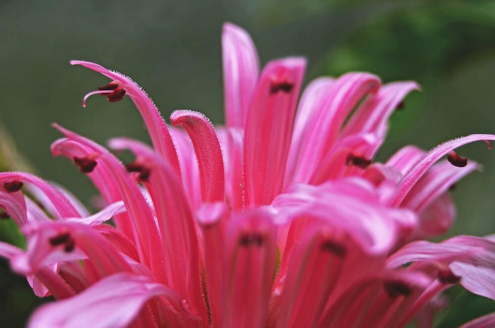 Pink Brazilian Plume  by photojeanic