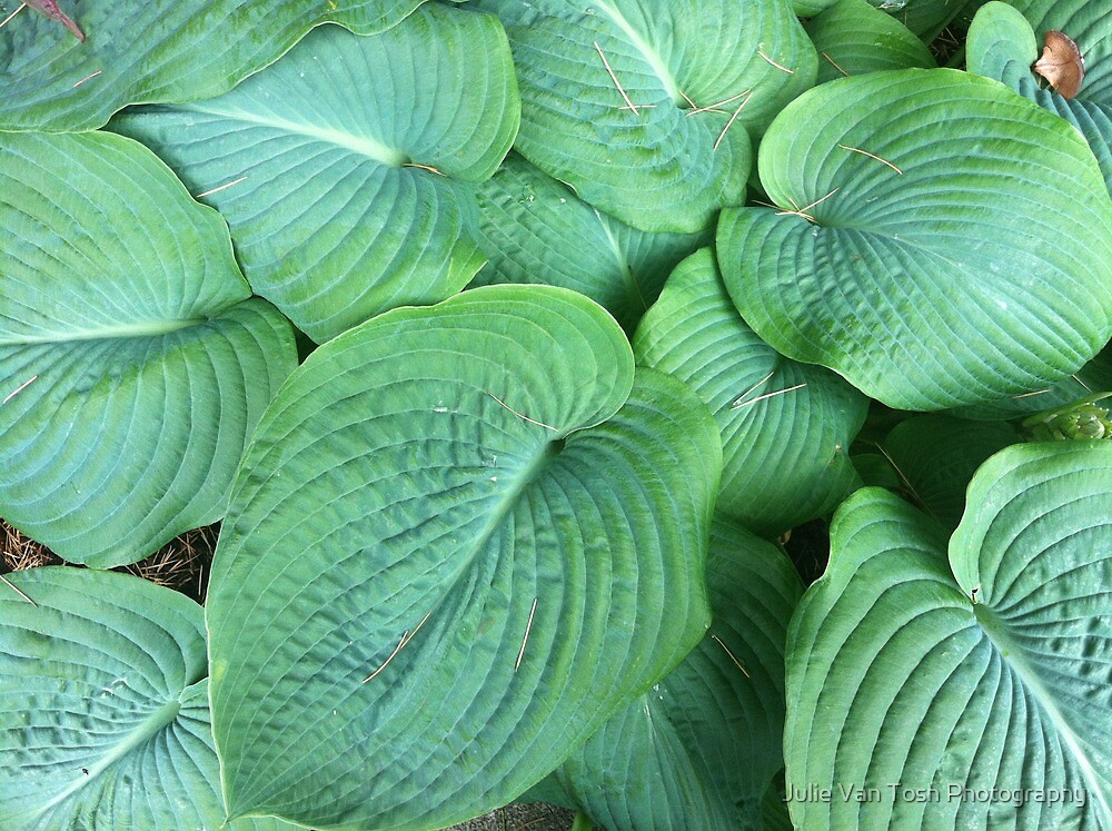 Big hostas by Julie Van Tosh Photography