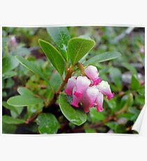 Bearberry - Arctostaphylos uva-ursi Poster