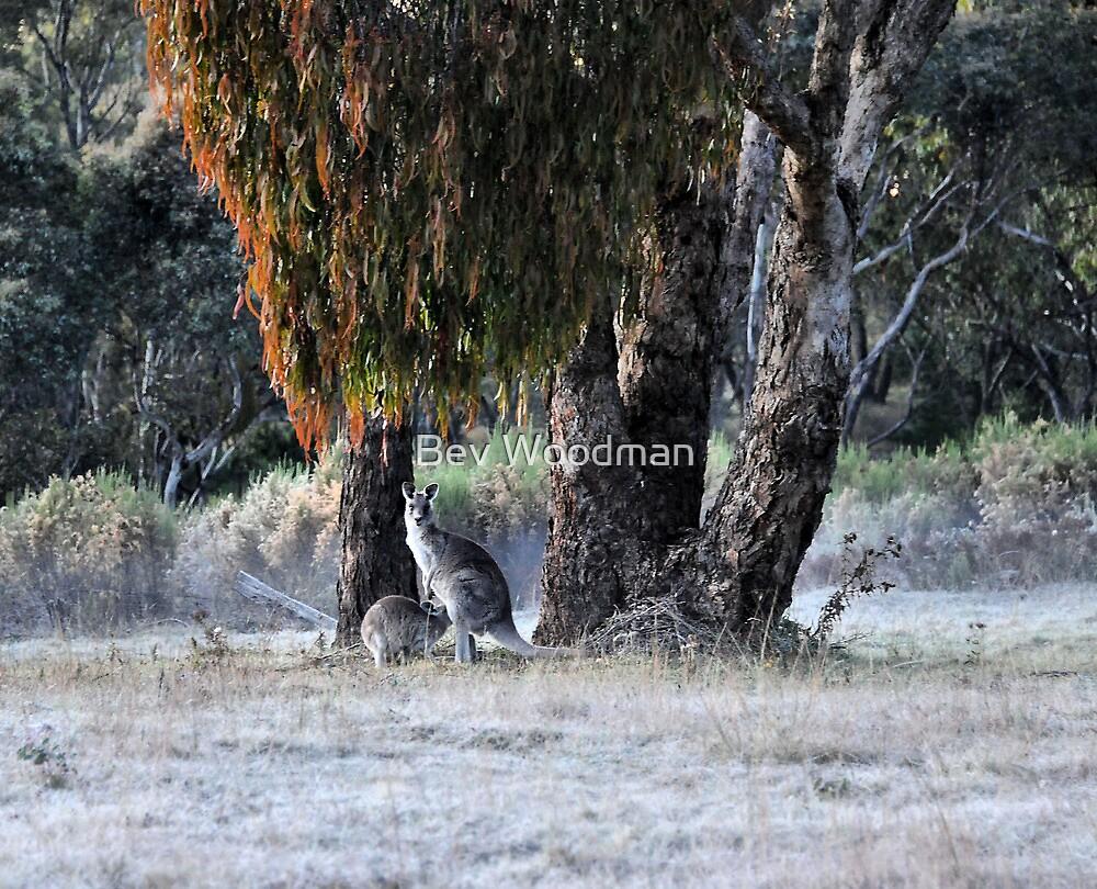Kangaroos of Hill End NSW Australia by Bev Woodman