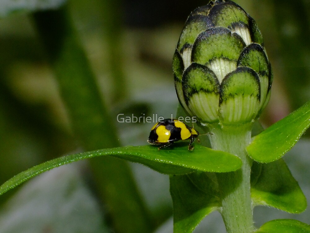 Yellow Ladybird Beetle by Gabrielle  Lees