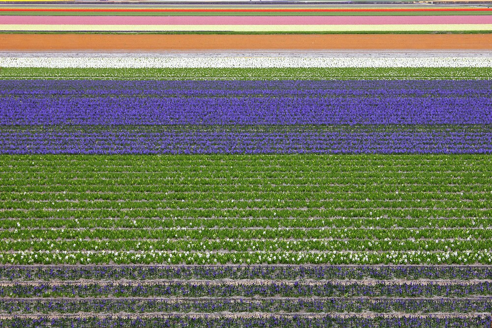 Colorful fields of tulips and hyacinth in Netherland. by kirilart
