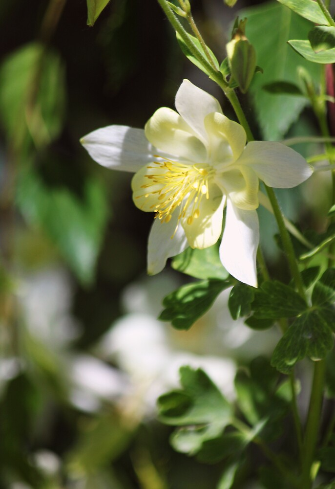 Steamboat Botanic Gardens Ghost Columbine by B.L. Thorvilson
