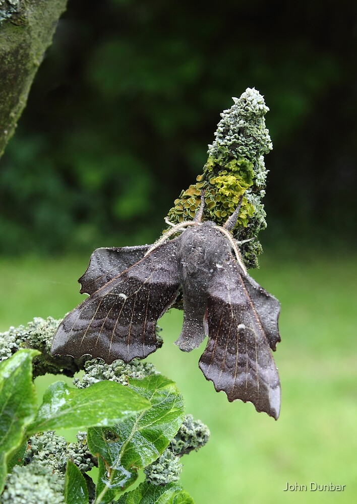 Poplar Hawk-Moth by John Dunbar