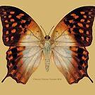 Charaxes Varanes Varanes Butterfly by Walter Colvin