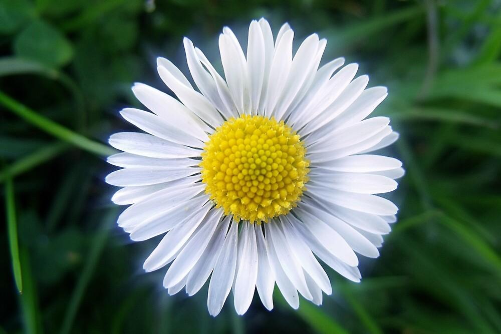 Daisy, Daisy Too by Chris Pilcher