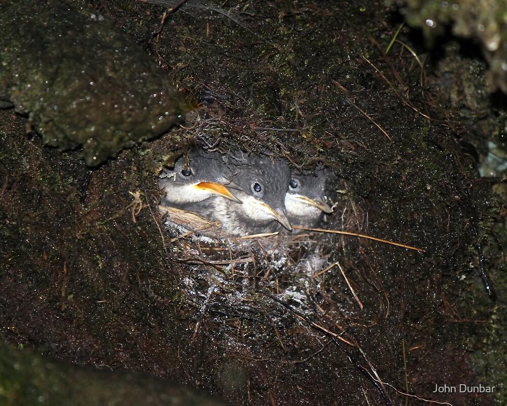 White-throated Dipper chicks by John Dunbar