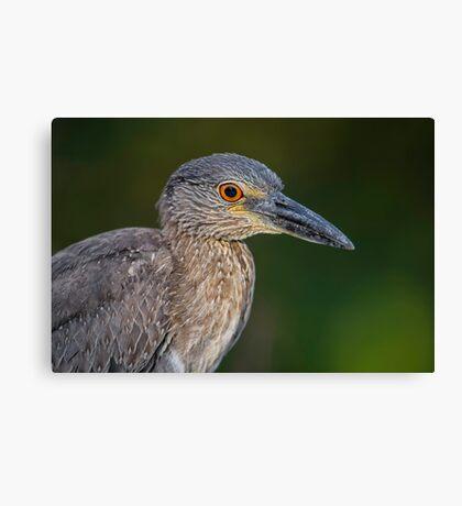 Yellow Crowned Night Heron Portrait Canvas Print