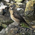 A well camofloughed female boat tailed grackle by Anthony Goldman