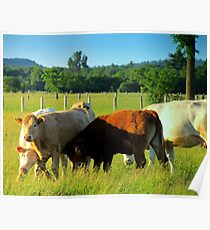 Cows Resling Poster