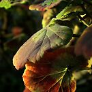 Geranium leaves by Ellen Cotton