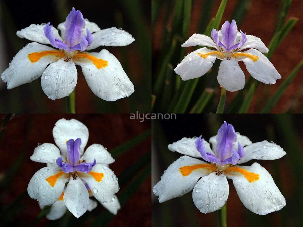 Collage of Dietes Bicolour Flowers in Rain by alycanon