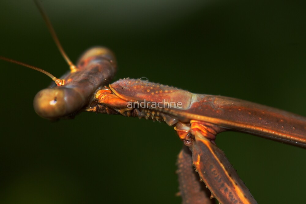 Archimantis latistyla by andrachne
